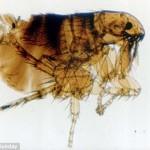 can fleas fly?