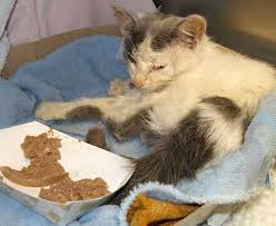 Kitten Eats A Lot Adult Cat Doesn T Eat Enough