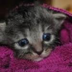 kitten fleas
