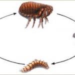 kill fleas naturally