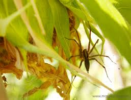 fleas natural predator