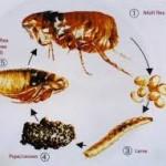 can fleas fly
